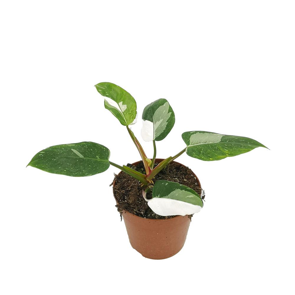 philodendron white princess, plante rare, facile d'entretien, pièce lumineuse