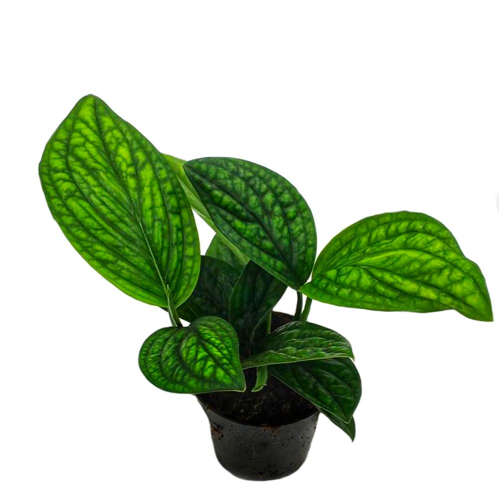 Epipremnum pinnatum Marble Planet, plante d'intérieur grimpante, facile d'entretien
