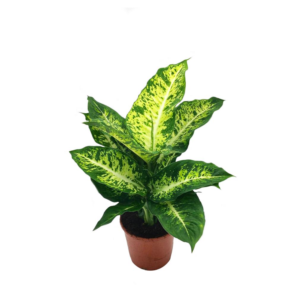 Dieffenbachia, plante verte d'intérieur au feuillage décoratif